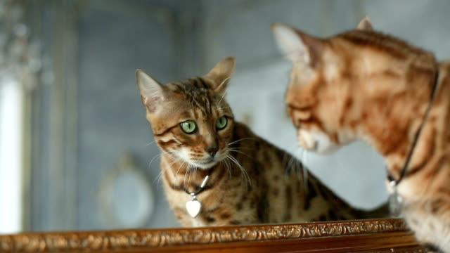 Bengal Cat Near Mirror video