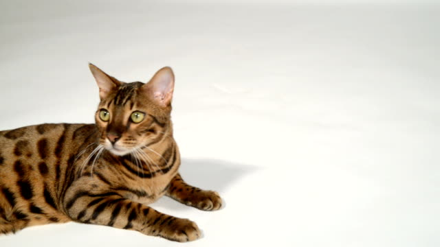 Bengal cat on a white background. video