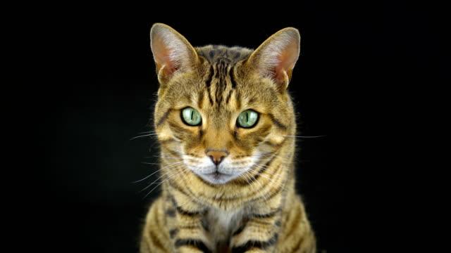 4K Bengal Cat on Black Background video