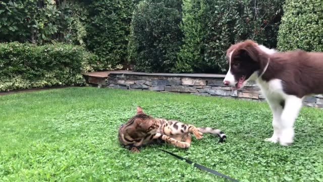 Bengal cat playing with Border Collie