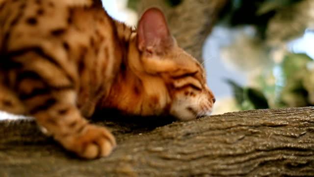 Bengal Cat Resting On Tree video
