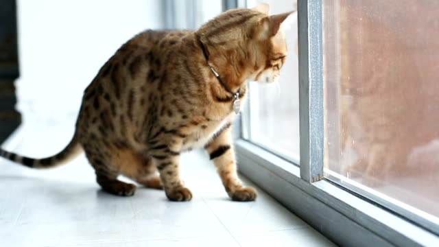 Bengal Cat Sits On The Windowsill Bengal cat head bathing in the sun while sits on the windowsill shorthair cat stock videos & royalty-free footage