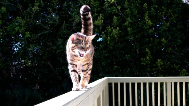 vídeos de stock, filmes e b-roll de 4 kib bengala gato andando - estoque vídeo - felino