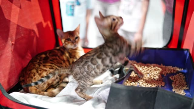 A Bengal kitten at a cat show plays with a toy from inside his cage.