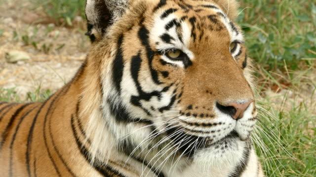 Bengal tiger closeup video