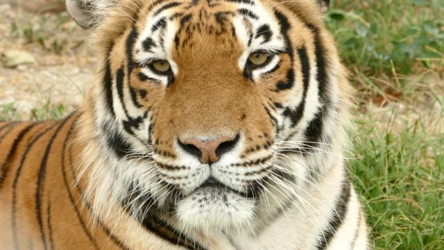 Bengal tiger のクローズアップ ビデオ