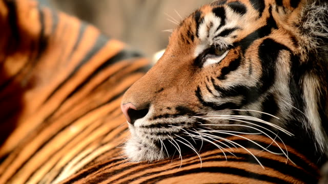 Best Tiger Face Stock Videos and Royalty-Free Footage - iStock