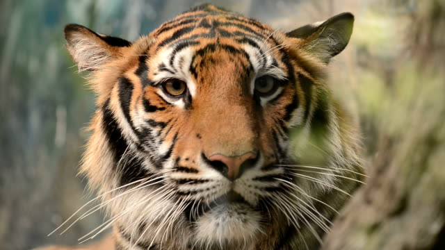 bengal tiger face close up video