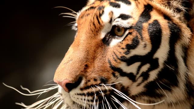 Tigre-da-Bengala perto de rosto - vídeo
