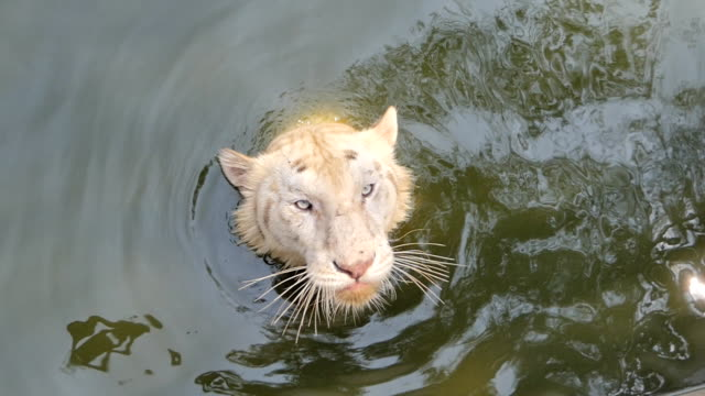 Bengal tiger feeding.