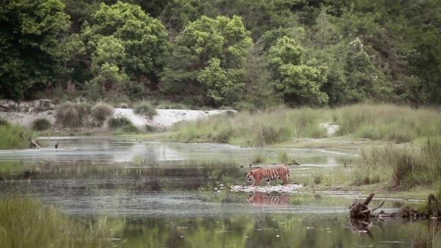 Tigre de bengala no Parque Nacional de Bardia, Nepal - vídeo
