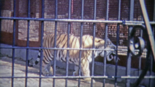 vídeos de stock e filmes b-roll de 1973: bengal tiger in confined zoo cell. - animal cativo