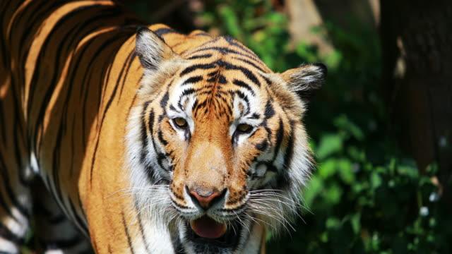 bengalisk tiger i skogen - tiger bildbanksvideor och videomaterial från bakom kulisserna