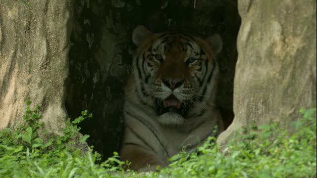 Bengal Tiger Laying Down and Relaxing in Den video