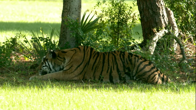 Bengal Tiger Laying in the Shade 2 video