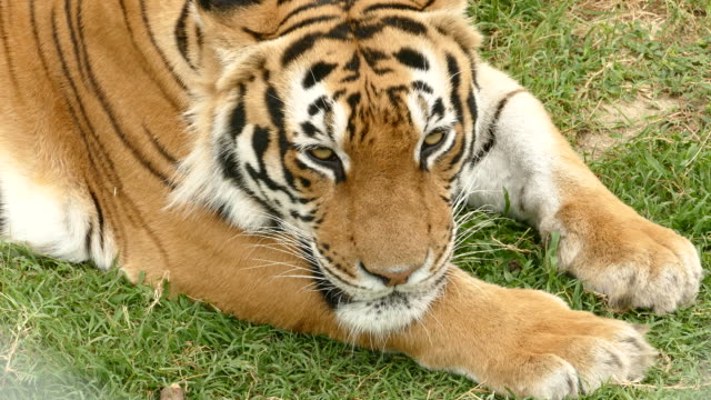 4K Bengal tiger lying down and resting video