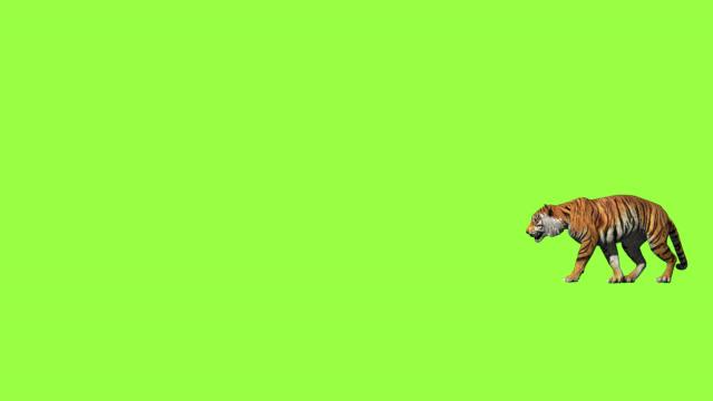 bengal tiger trevlig promenad och hoppa mellan klippa realistisk med 3d-animering rendering sidovy inkluderar alfa och grön skärm. - tiger bildbanksvideor och videomaterial från bakom kulisserna