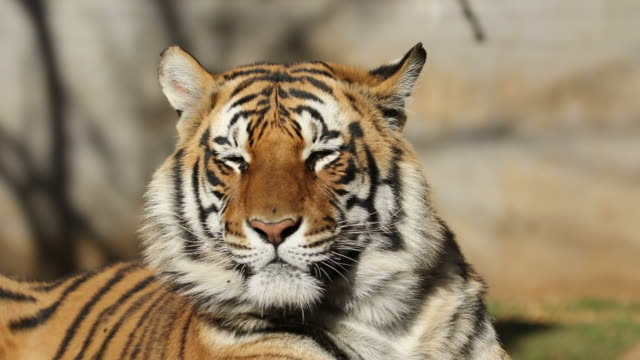 Bengal tiger portrait video