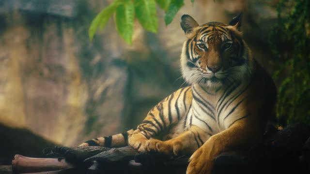 bengalisk tiger vilar i skogen - tiger bildbanksvideor och videomaterial från bakom kulisserna