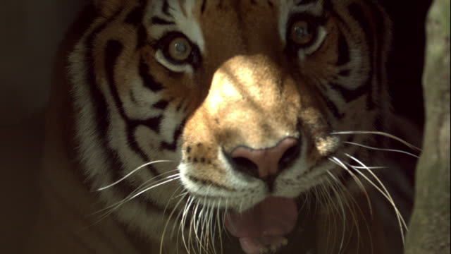 Bengal Tiger Snarling at Camera video