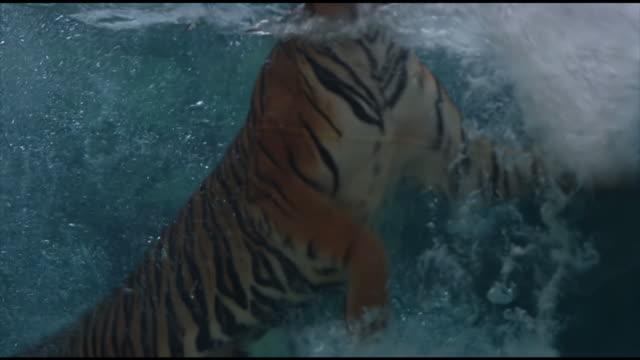 vídeos y material grabado en eventos de stock de tigre de bengala piscina - tigre