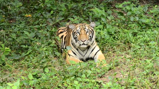 vídeos y material grabado en eventos de stock de tigre de bengala - tigre