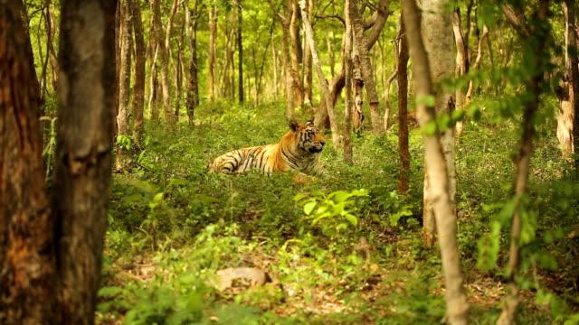 Tigre du Bengale - Vidéo