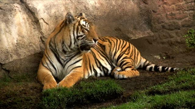 ベンガルの虎のあくび ビデオ