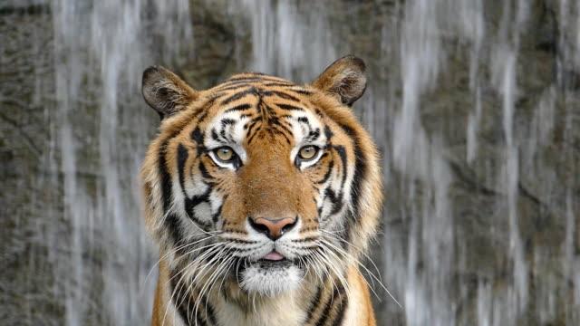 滝の背景にベンガルトラ。 - 野生動物旅行点の映像素材/bロール