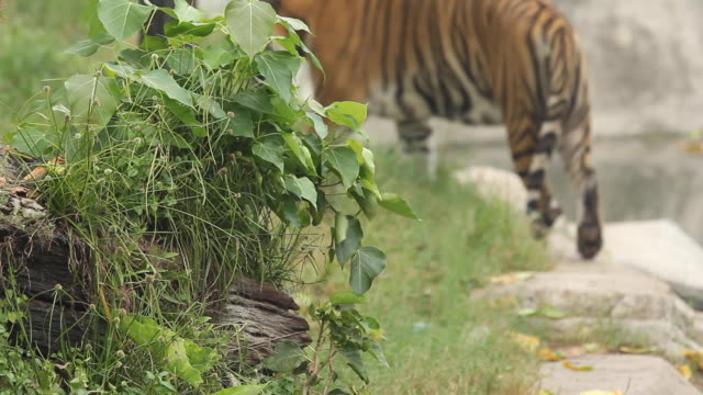 Bengal tigers walking and relax
