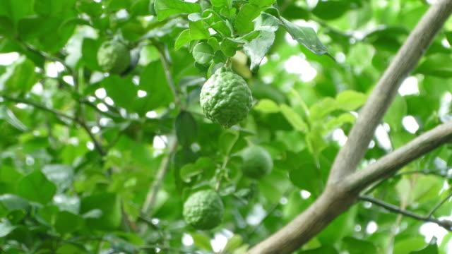 Bergamot fruit
