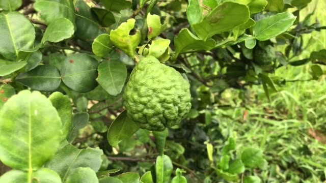 Bergamot on the tree. Bergamot on the tree. vascular plants stock videos & royalty-free footage