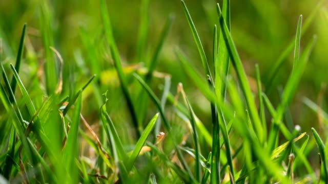 Bermuda Grass Growing Macro Time Lapse video