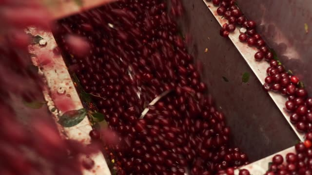 Berries Are Processed At The Plant. Modern Plant For The Production Of Juices. Ripe Berries Are Poured Into The Bunker. The Auger Feeds The Cherries Into The Processing Machine. cherry stock videos & royalty-free footage