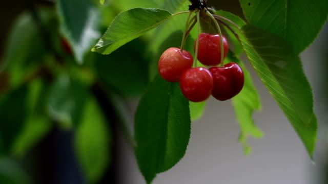 Berries cherries on a branch video