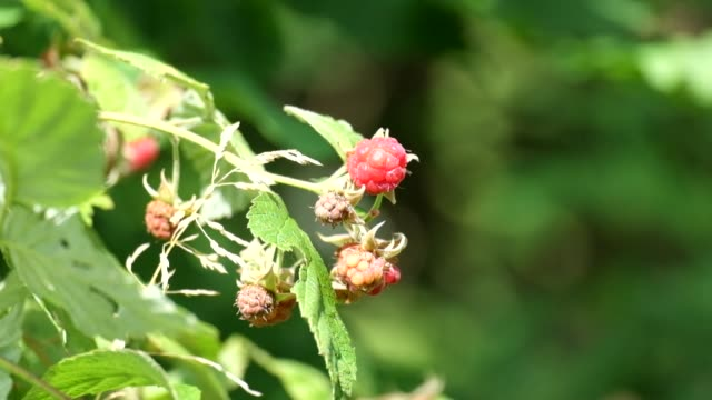 Berries of wild raspberries. Light breeze blowing (Rubus idaeus) video