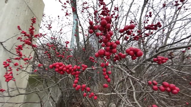 Berries on Bare Branches