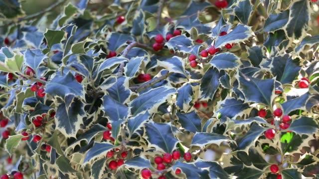 vídeos de stock e filmes b-roll de berry plant ilex aquifolium - baga