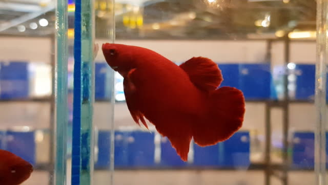 beta fish tail swim in water tank background ,siamese fighting fish