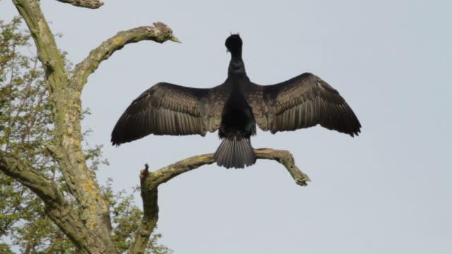 HD video cormorant Phalacrocorax carbo drying wings and preening video