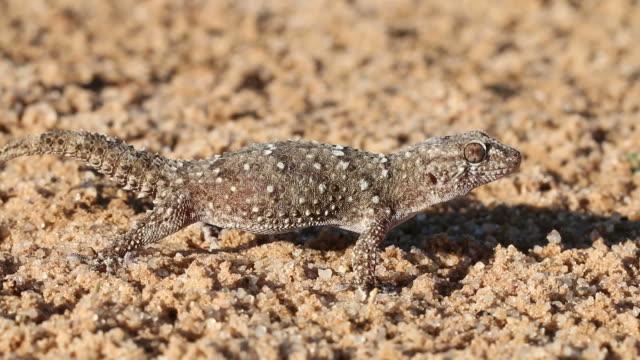 Bibron gecko video