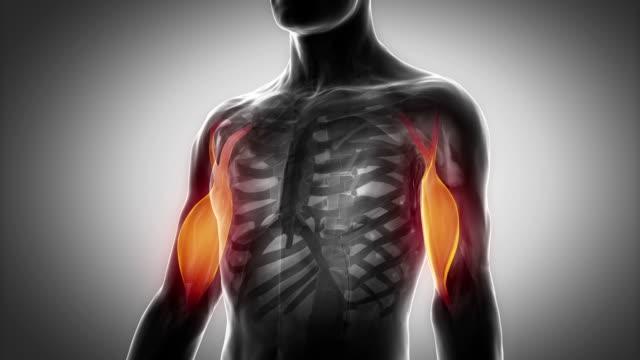 上腕二頭筋 brachii -筋肉部位にブラック - 人の筋肉点の映像素材/bロール