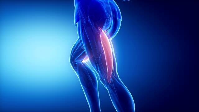 bizeps femoris bein muskeln anatomie anaimation - gliedmaßen körperteile stock-videos und b-roll-filmmaterial