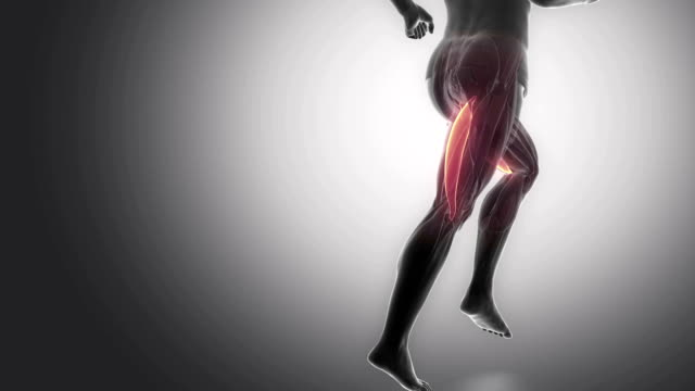 biceps femoris - leg muscles anatomy anaimation Muscles anatomy concept limb body part stock videos & royalty-free footage