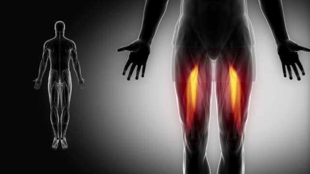 femoris bizeps-muskeln mit muskel-karte anzeigen - gliedmaßen körperteile stock-videos und b-roll-filmmaterial
