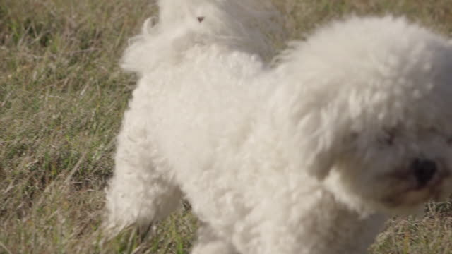 bichon frise dog - bichon frisé video stock e b–roll
