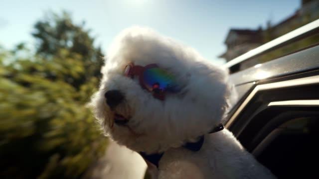 Bichon Frise enjoying car ride