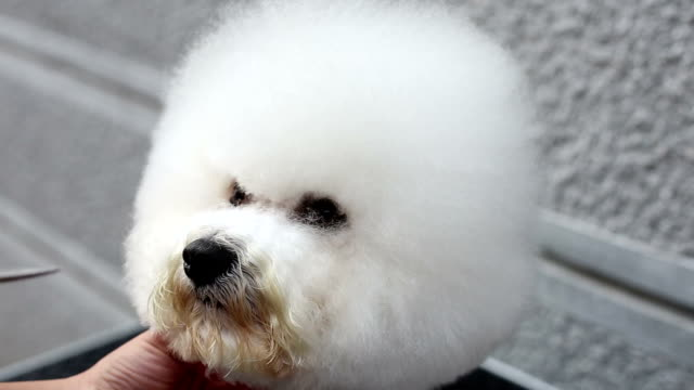 Bichon frise grooming araound eye video