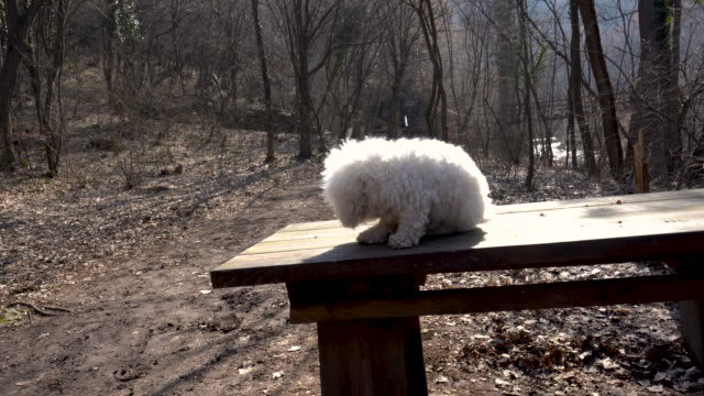 bichon frise on a walk through the woods - bichon frisé video stock e b–roll