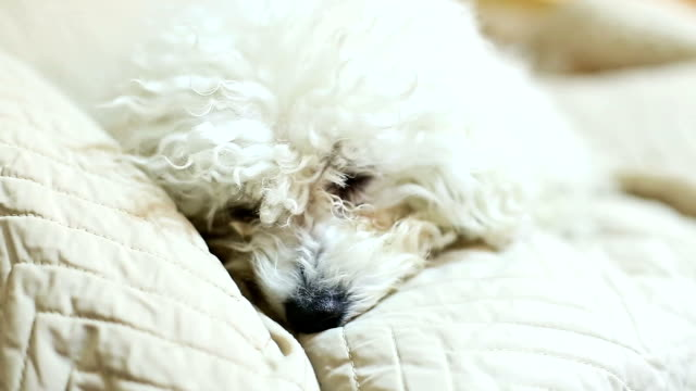 Bichon Frise resting in bed video